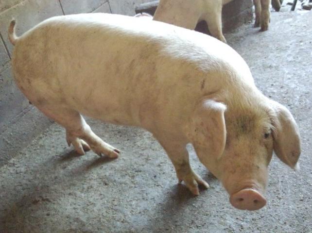 鳥取豚(東伯三元豚)